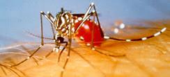 dengue mosquito, aedes aegypti