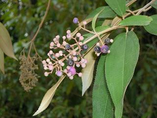 Conostegia xalapensis, La Ceiba, Honduras