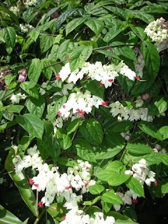 Clerodendrum thomsonae (Bleeding heart vine)