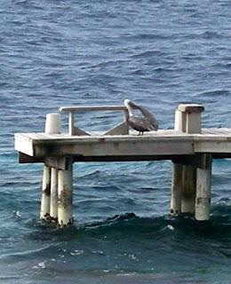 Pelican, Utila, Honduras