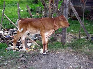 calf, Honduras