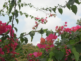 bouganvillea against the sky