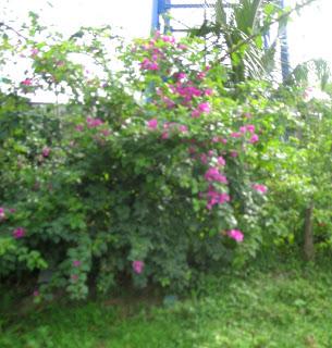 purple bougainvillea, La Ceiba, Honduras