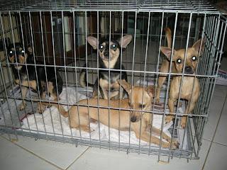 jail time, chihuahuas, La Ceiba, Honduras