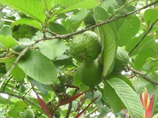Guava, La Ceiba, Honduras