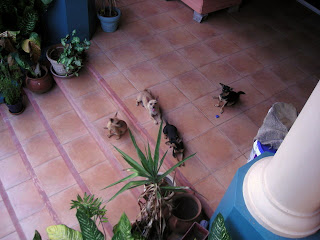 Honduran chihuahuas