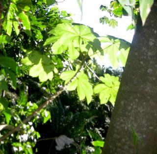 cecropia (guarumo) La Ceiba, Honduras