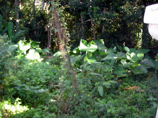 Elephant ears malanga, La Ceiba, Honduras