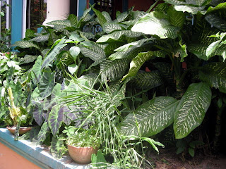 Dieffenbachia, La Ceiba, Honduras