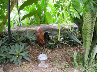 bantam rooster, La Ceiba, Honduras