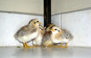 bantam chicks, La Ceiba, Honduras