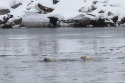 Polar bears coming to visit