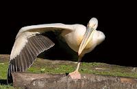 Pelicano exibe seu equilíbrio e envergadura para o fotógrafo.