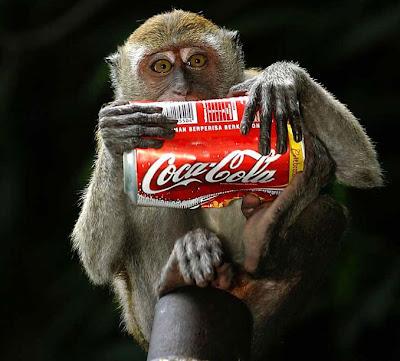 Macaco fotografado com lata de Coca-Cola