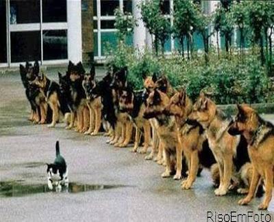 Gato desfila calmamente em frente de uma longa fila de cães pastores alemães.