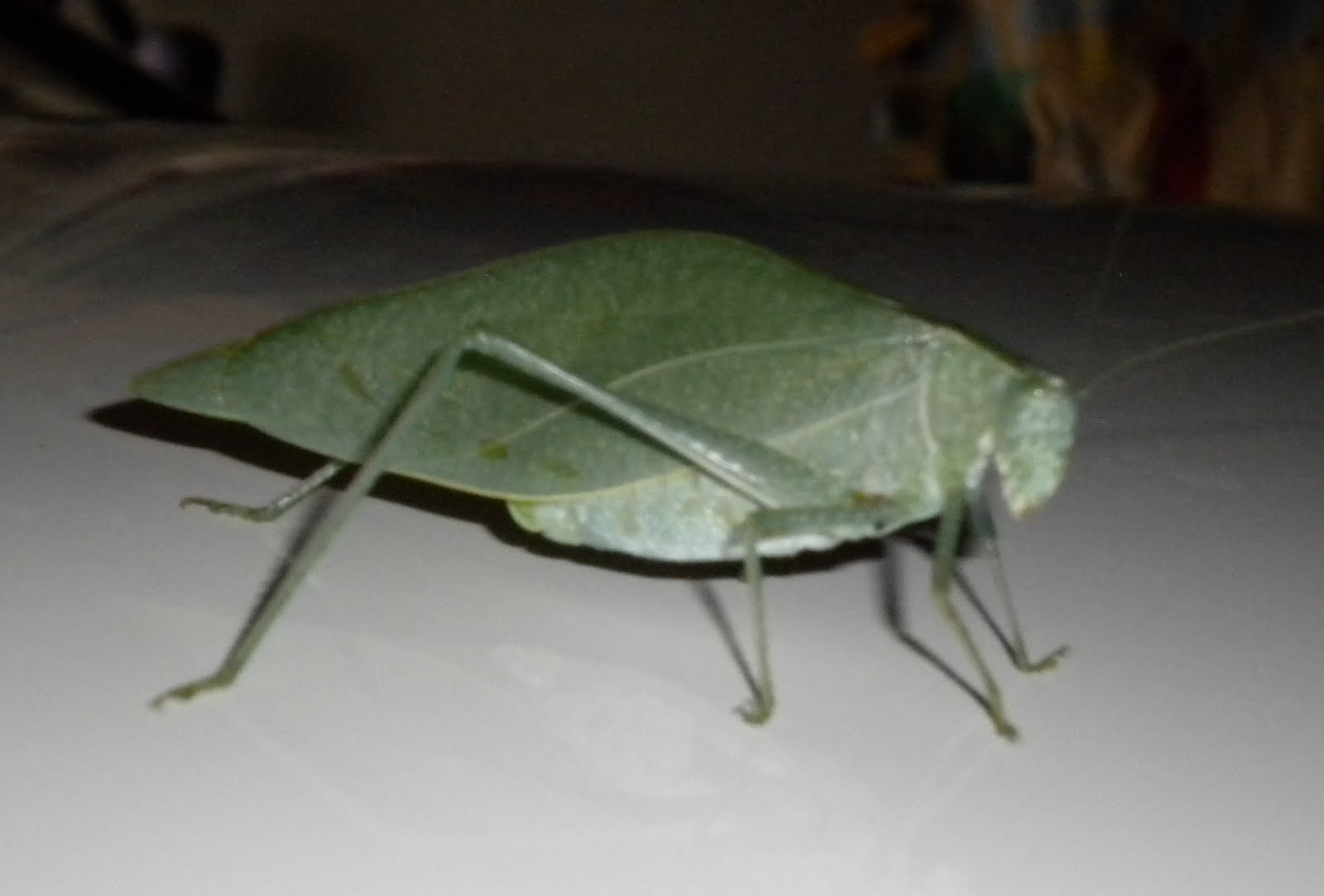 Fuchsiastars lunarnotes leaf insect wisdom friday august 13 2010 buycottarizona