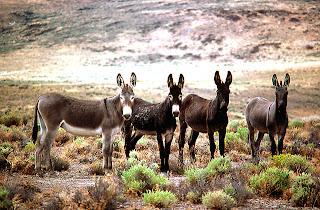 [4 burros on sheldon-thumb.jpg]