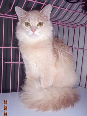 Kucing Persia hijau daun