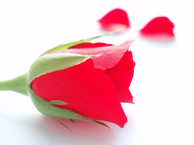 wallpaper heart rose. wallpaper heart rose. roadbloc