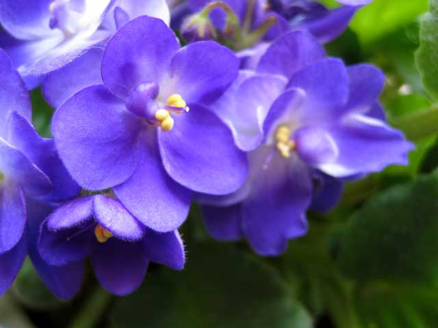 Standard of the Day: Violets for Your Furs