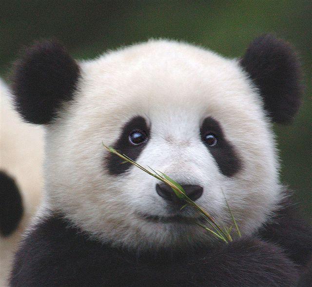 Animals that make you go Aww: Baby Pandas