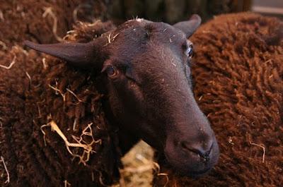 beau mouton noir