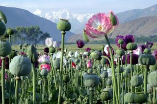 champ de pavot afghan