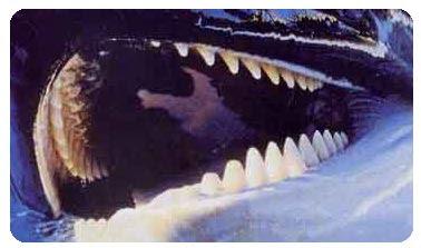 dents d'orque