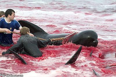 egorgement d'un dauphin calderon