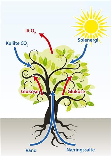 hvad bruger planter glukose til