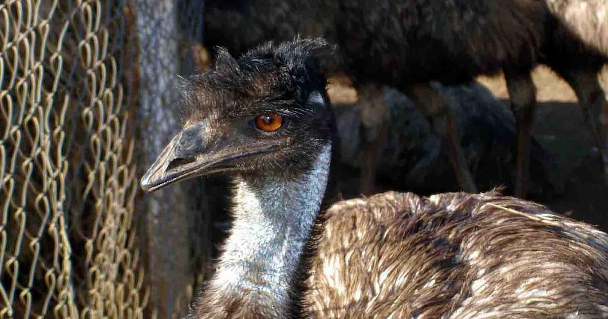 fa625c64b5 Birding in India...: 13. Emu