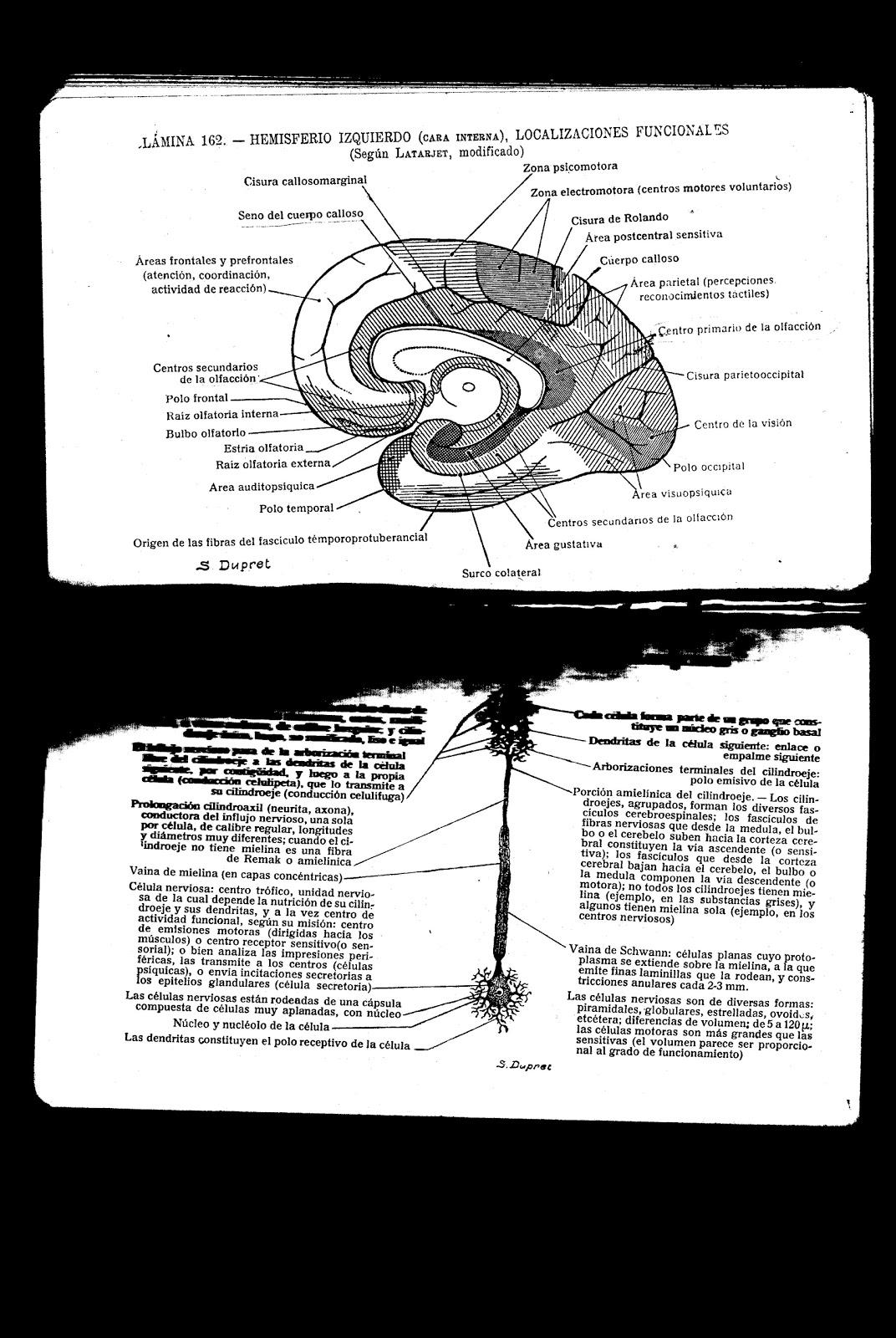 codón desastre: Una parte del cerebro, la amígdala, puede estar ...