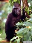 Rawa Aopa Watumohai, pariwisata kota sulawesi tenggara, primate, black monkey, monyet hitam,