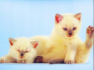 cat wallpaper, kitten