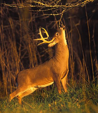 White Tail Deer Hunting pic1