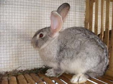 Kelinci Chincilla Giant (Besar)