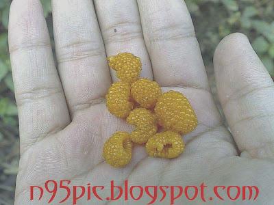 wild yellow berry