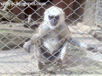 langoor monkey