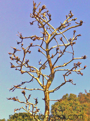 leafless tree,leafless tree in autumn season,leafless tree in nepal,tree in n95 pictures,nature,landscapes,image of leafless tree,picture of leafless tree