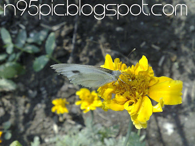 beautiful butterfly,white butterfly,nepali butterfly,nepali flower,white butterfly and yellow flower,butterfly and daisy,deliciousness of nectar,sweet nectar,