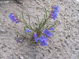 Penstemon penlandii