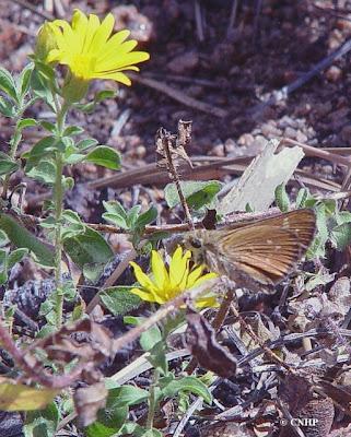 Hesperia leonardus montana