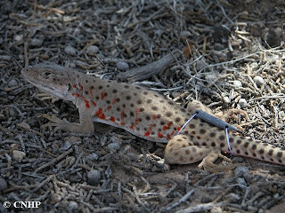 longnosed leopard lizard