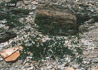 Thalictrum heliophilum