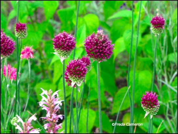 Allium Drumstick Flower