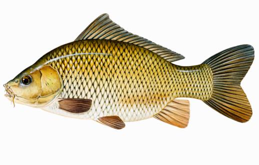 Kenapa ikan mas doyan pelet?