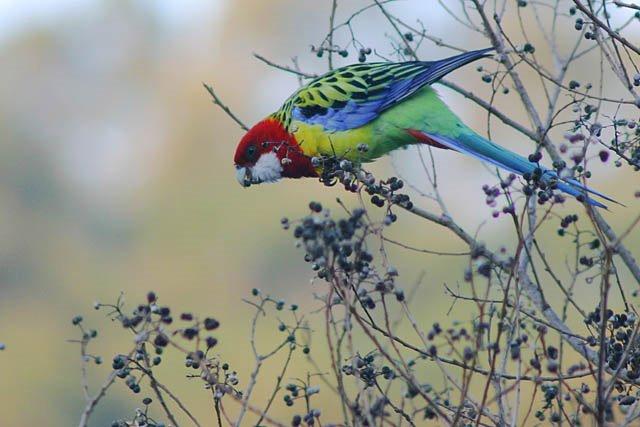 rosela omnicolor (estado selvagem)