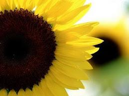 bunga matahari 9