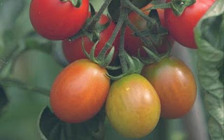 Biji Buah Tomato Lebih Baik Dari Aspirin