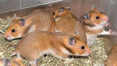 Hamsters Hams_05